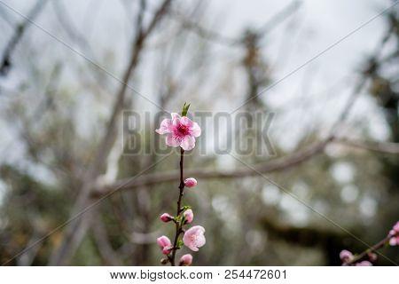 Cherry Blossom In Morocco