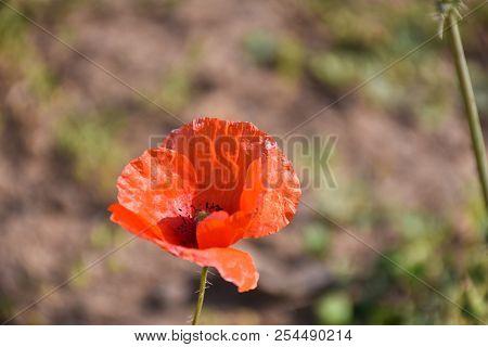 Sunlit Blossom Red Single Poppy Flower Closeup