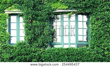 Many crawler green color leaves of Mexican daisy cover all on the old wall and window with european contemporary modern architecture building style. poster
