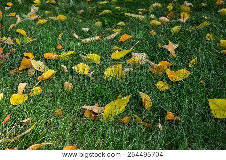 Background Of Autumn Fallen Leaves. Uniform Distribution Of Leaves On The Ground. Fallen Leaves Lie