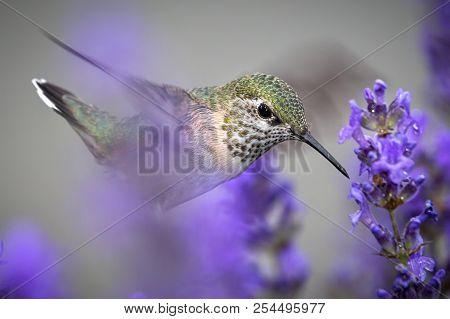 Close Up Of Female Calliope Hummingbird. A Close Up Of A Female Calliope Hummingbird, Selasphorus Ca