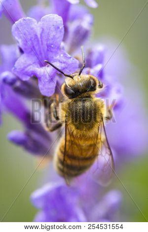 Honey Bee Clings To Lavendar. A Close Up Of A Honey Bee, Apis, On A Lavendar Plant, Lavandula Spica.