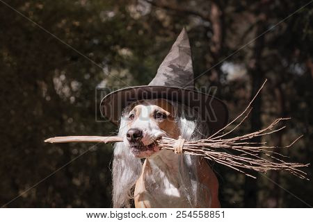 Cute Dog In Witch Hat Holding Broomstick. Portrait Of Beautiful Staffordshire Terrier Puppy In Hallo