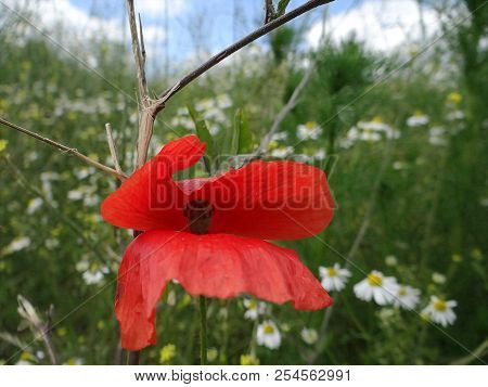 Gossip Poppy In The Meadow, Geismar, Edersee, Kellerwald, Hesse
