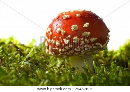 Toadstool on a White Background (Amanita muscaria)