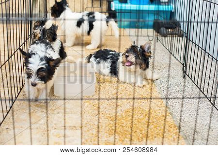 Group Puppy Purebred Biewer Yorkshire Terrier Pet In Cage Careful Cultivation Pets Maintenance Healt