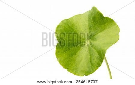 green Asiatic Pennywort isolated on white background. poster