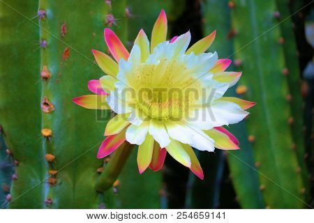 Organ Pipe cactus plant flower blossom during spring taken in the Sonoran Desert poster