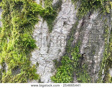 Background Texture Of Moss On The Bark Of A Tree. Green Moss On A Tree. Moss Growing On The Trunk Of