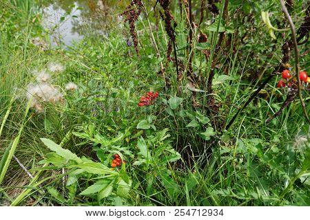 Clusters Of Poisonous Red Berries Of The Bittersweet Nightshade Plant (solanum Dulcamara) In Joliet,