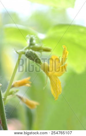 Female Cucumber Flower, Cucumis Sativus, Central Of Thailand