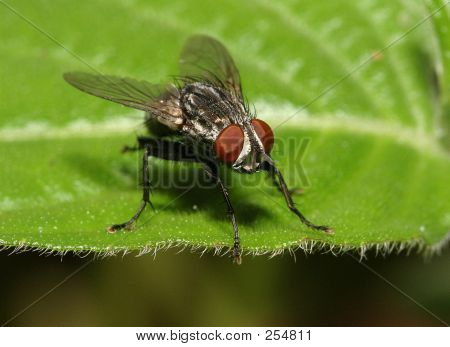big eyed fly extreme close up poster