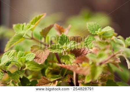 The Leaves Of A Catnip Plant Turn From Green To Russet In Early Fall.
