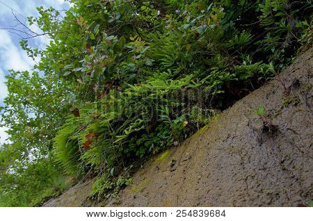 Profuse Growth Of Maiden Hair Ferns, Salal, And Wild Flowers Overhangs A Cliff, On Sombrio Beach, Va