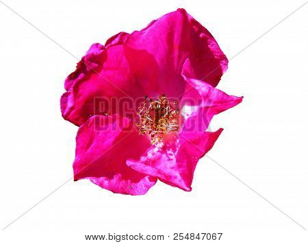 Bright pink purple beach rose flower with shiny leathery leaves closeup isolated on white background