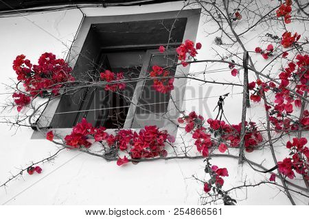 Red Bright Flowers Contrasting With Black And White Background With Window