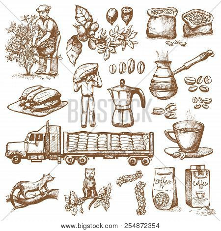 Coffee Production Vector Plantation Farmer Picking Coffeine Beans On Tree And Vintage Drawing Drink