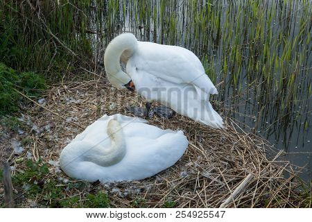 Photo Of A Pair Of Mute Swans On The Nest With One Standing And One Sitting