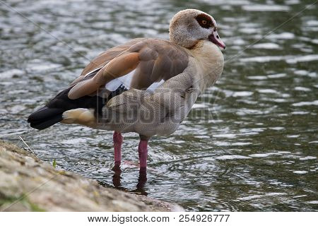Photo Of An Egyptian Goose Standing At Waters Edge