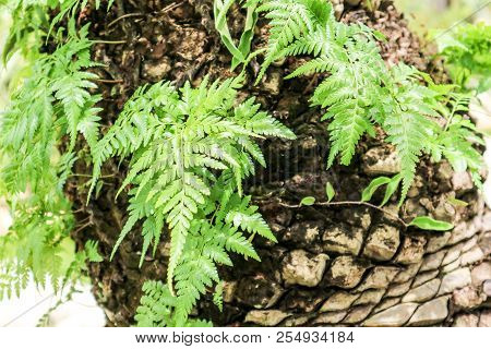 Green Fern Plant Growning On Old Body Palm Tree