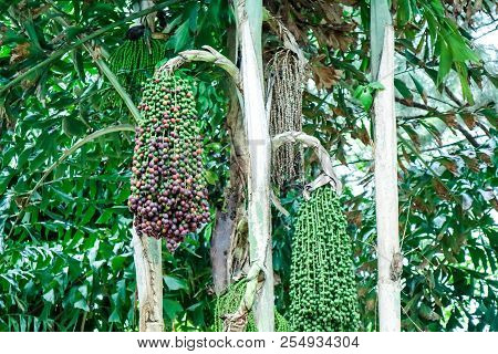 Colorful Of Palm Seed On Palm Tree Decorate In Garden