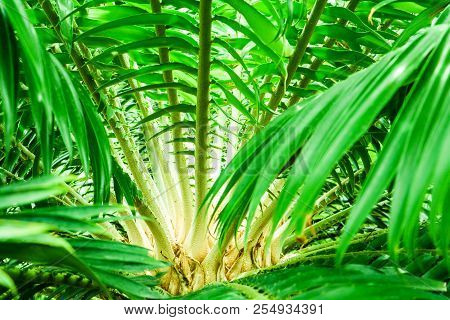 Palm Thorn On Green Leaf On Branch Of Palm Tree In The Garden
