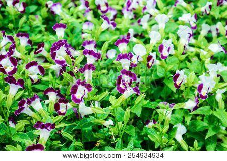 Torenia Fournieri Purple White Flower And Yellow Pollen Blooming