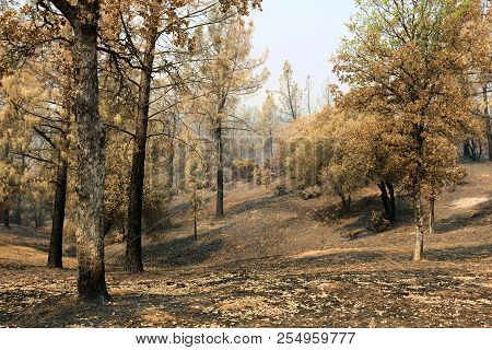 Haunting Image Of A Charcoaled Forest Recently Burnt From The Carr Wildfire Caused From Prolonged Dr