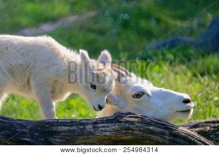 Mother And Baby Dall Sheep In Green Grass With Tree Log, White, Closeup, Summer, Sunny, Beautiful, L