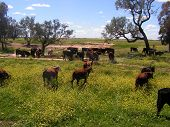 cattle grazing next to the road poster