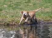 A Yellow Labrador Retriever plays in the muck. poster