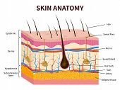 Human skin. Layered epidermis with hair follicle, sweat and sebaceous glands. Healthy skin anatomy medical vector illustration. Dermis and epidermis skin, hypodermis poster