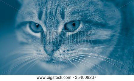 Blue Cat Face Closeup. Cheshire Cat Portrait.