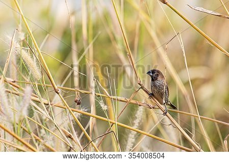 Scaly Breasted Munia Perching On Wild Grass On Blurred Nature Background