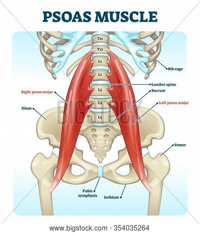 Psoas Muscle Medical Vector Illustration Diagram. Lumbar Spine And Psoas Major Attached From Discs T