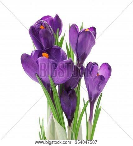 Beautiful Purple Crocus Flowers Isolated On White. Spring Season