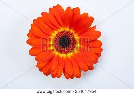 Dark Orange Gerbera Daisy Flower Close Up on White Background
