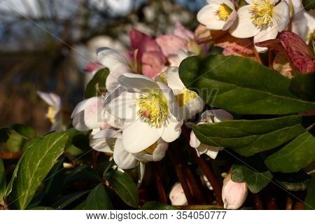 The Day Winter Sun Lights Fresh Flowers Of A Helleborus Niger With Bright White Petals.