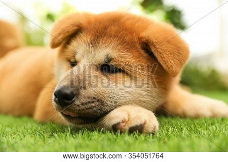 Cute Akita Inu Puppy On Green Grass Outdoors. Baby Animal