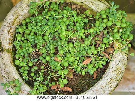 Sedum Rubrotinctum Or Sedum Rubrotinctum, And Commonly Known As Jelly-beans, Jelly Bean Plant, Or Po