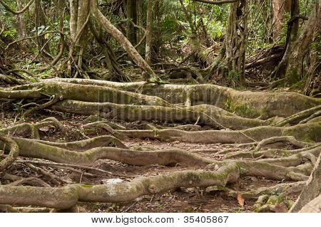Root Trees In Forest .