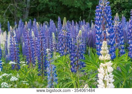 Blooming Lupine Flowers. A Field Of Lupines. Violet And Pink Lupin In Meadow. Colorful Bunch Of Lupi