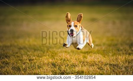Dog Beagle Running Fast And Jumping With Tongue Out Through Green Grass Field In A Spring. Pet Backg