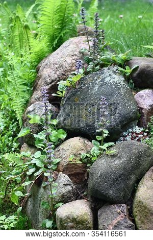 Among The Large Stones Lying On A Slope The Ajuga Grows And Blossoms. The Fern And A Sedum Are Near.