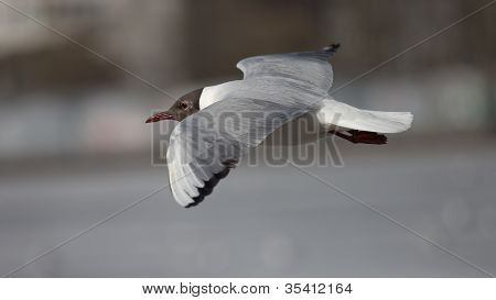 Black-headed Gull On City Pond