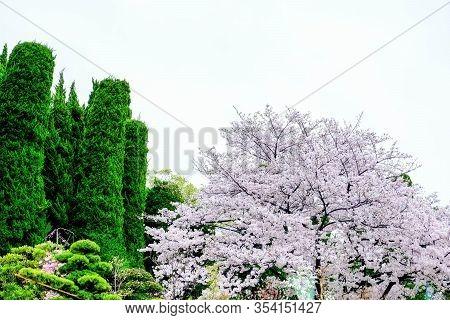 Japanese Garden Sakura Trees, Green Pine And Bonsai Trees Decorate In Public Garden, Sakura Trees Fu