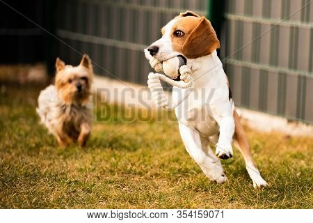 Beagle Dog Fun In Garden Outdoors Run And Jump With Ball And York Dog. Dog Background.