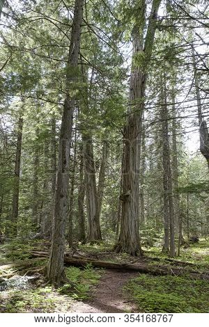 Giant Cedars Mount Revelstoke National Park, British Columbia, Canada Featuring Large Old Cedar Tree