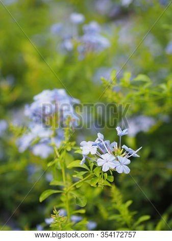 Cape Leadwort, White Plumbago, Sky Flower, Bunch Of Indigo Flowers, Blue Color In Garden On Blurred