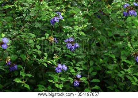 Violet Bloom. Flax Flowers After Rain. Springy Green Foliage In The Dew.bush With Violet Flowers.